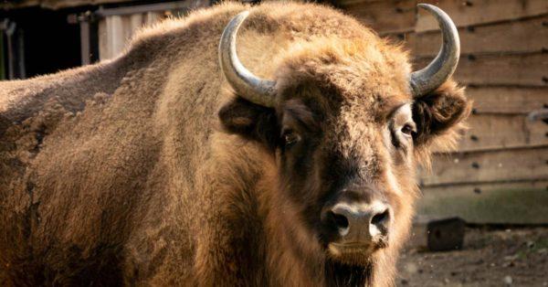 Le symbolisme du bison